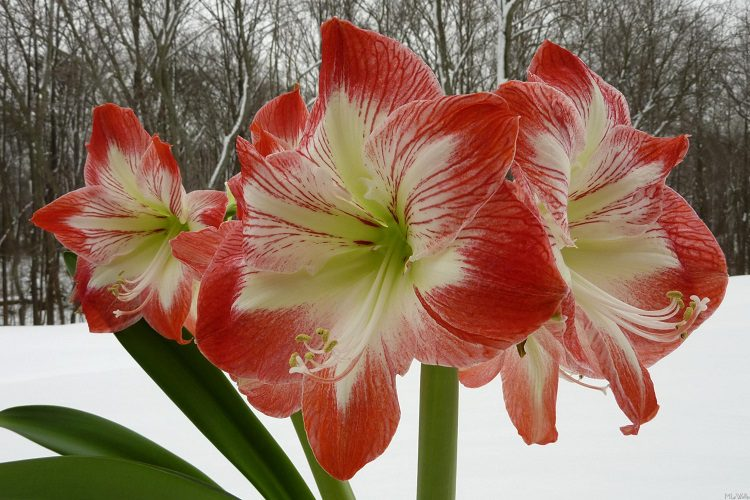 Will Amaryllis Die in Cold Weather?