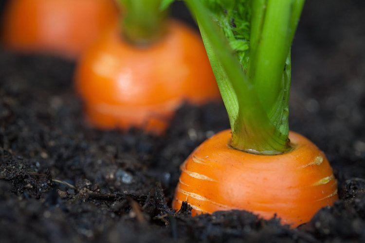 Why plant carrots?