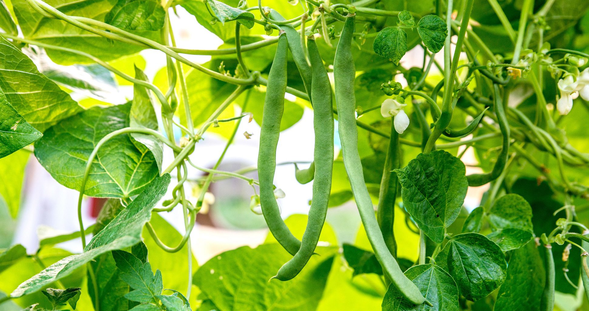 How To Grow Green Beans?