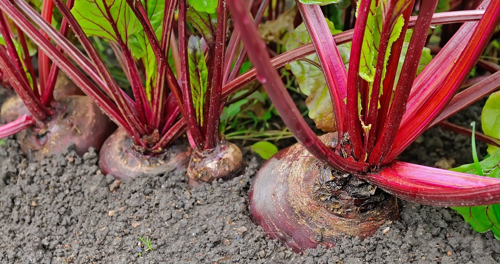 Guide To Growing Beets