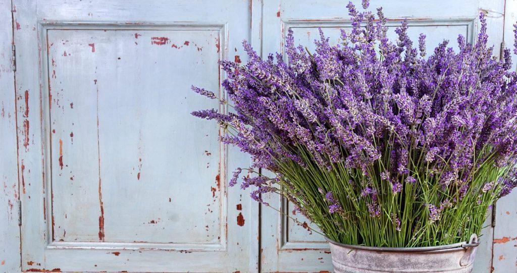 Growing Lavender Indoors