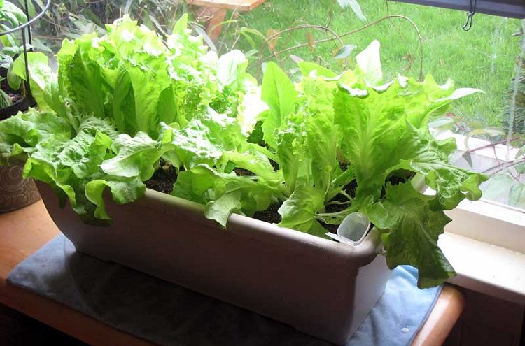 Why growing lettuce is good for you.