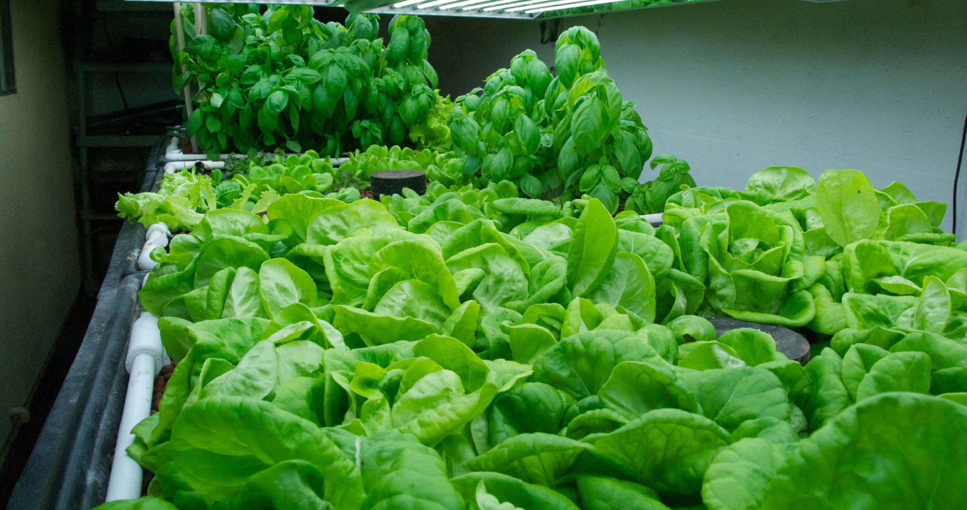 Guide To Growing Lettuce Indoors