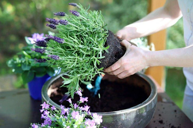 When to plant lavender indoors
