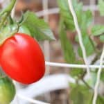 Best Tomato Cages