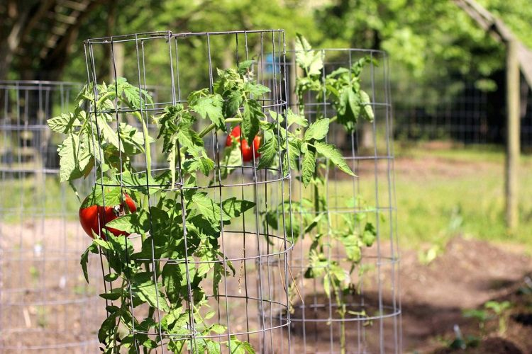 What Is A Tomato Cage?