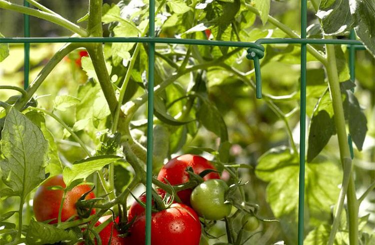 Why is it essential to use a tomato cage?
